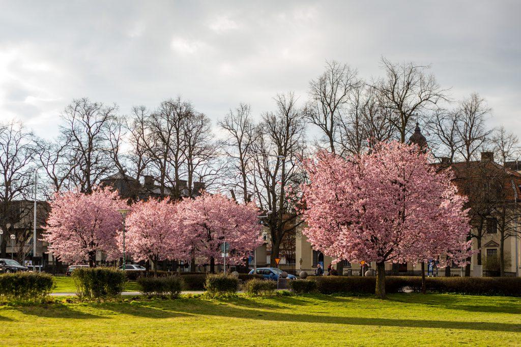 Körsbärsträd vid Vasaparken