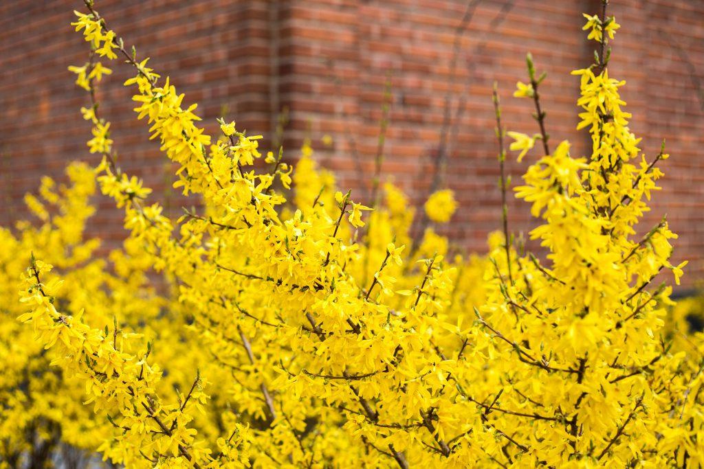 Gul blommande buske vid tegelfasad.