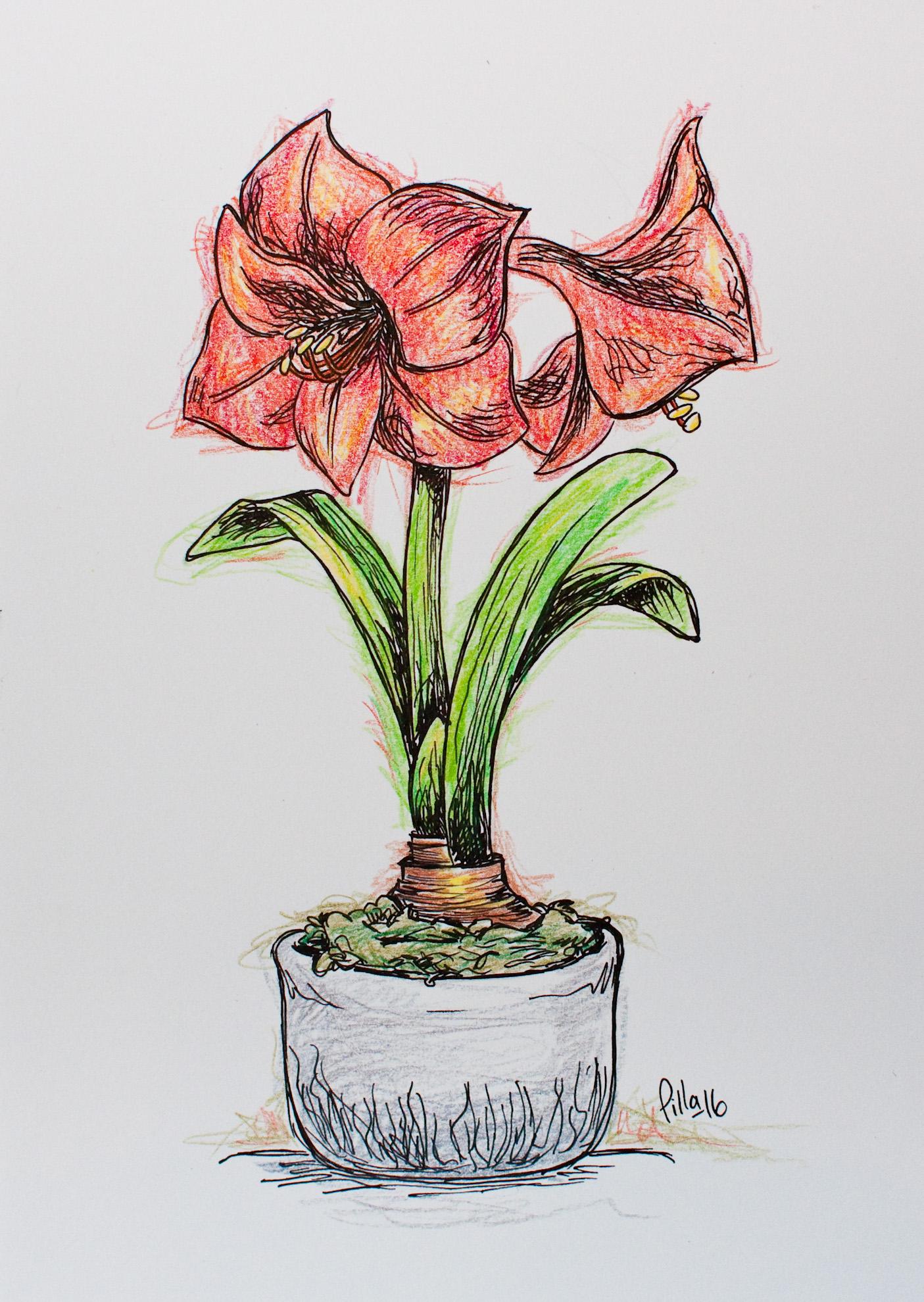 Teckning av amaryllis