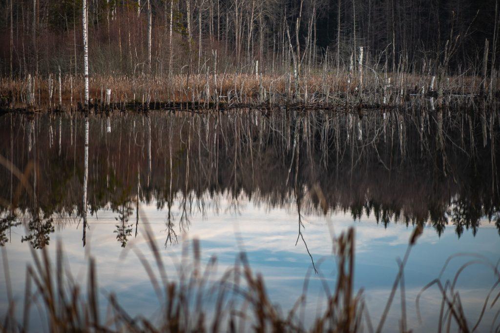 Avsågade björkar och träd vid stilla vatten
