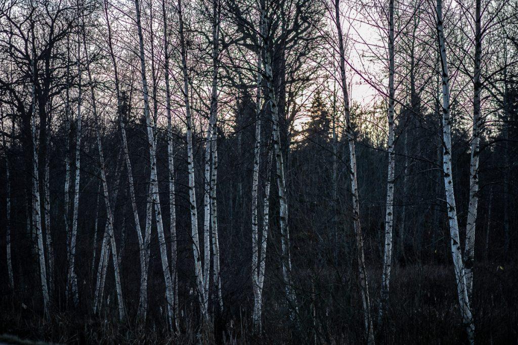 Solnedgång bakom smala björkar