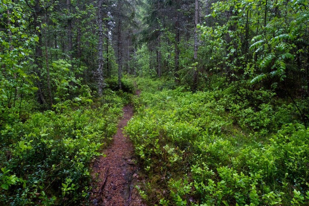 Grön skog i regn längs Bergslagsleden