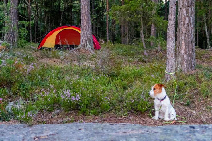 Jack Russell framför tältet Hilleberg Niak i skogen