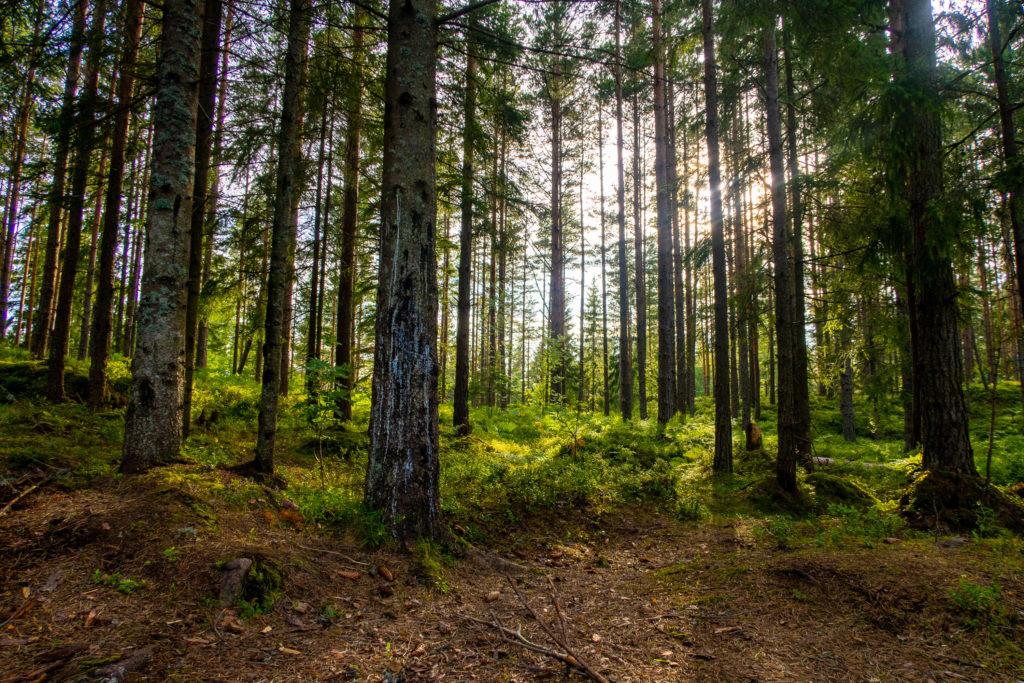 Vacker sol i skog vid vandring längs Bergslagsleden
