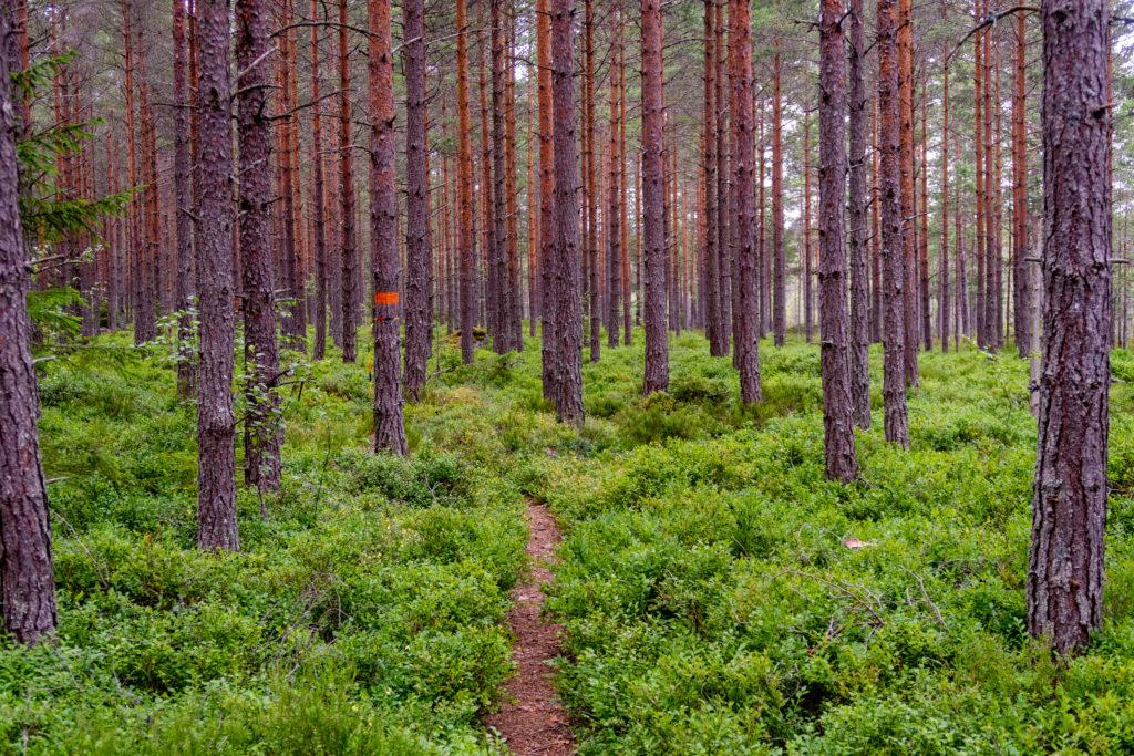 Vandringsleden Bergslagsleden passerar genom skog med blåbär
