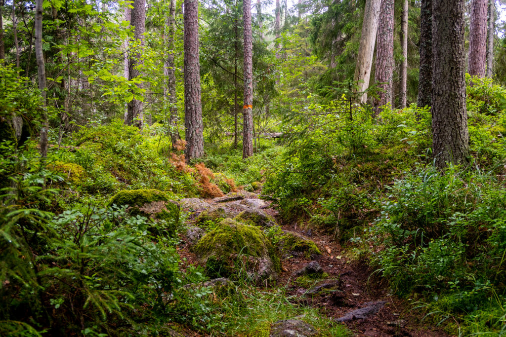 Vacker led i skogen i Tivedens nationalpark