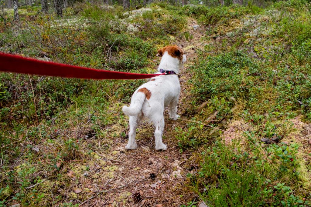 Jack Russell leder vandringen