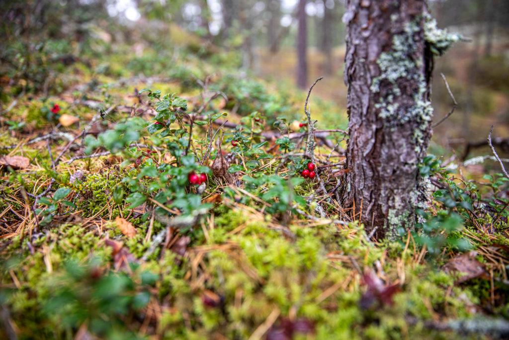 Lingon i skogen