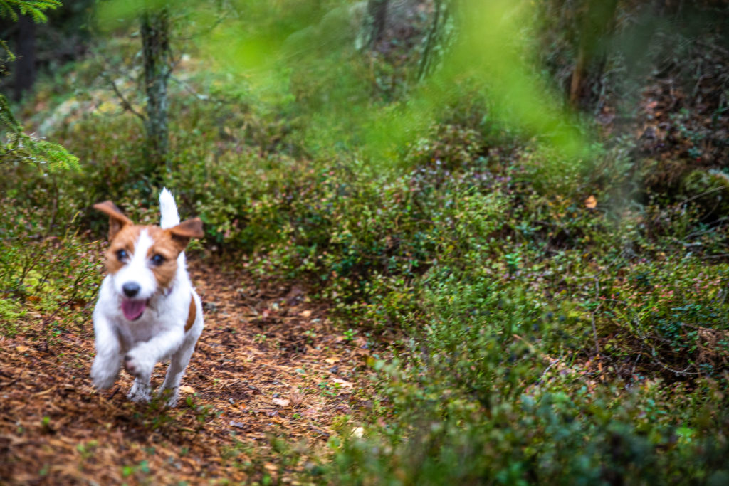 Glac Jack Russell