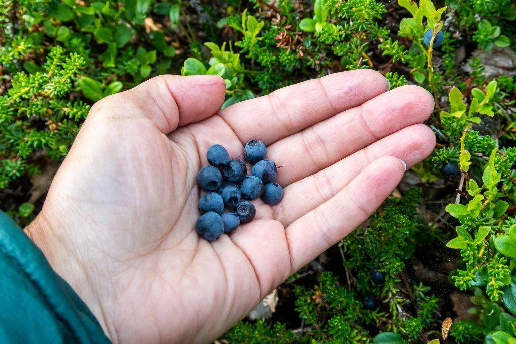 Färska blåbär smakar gott