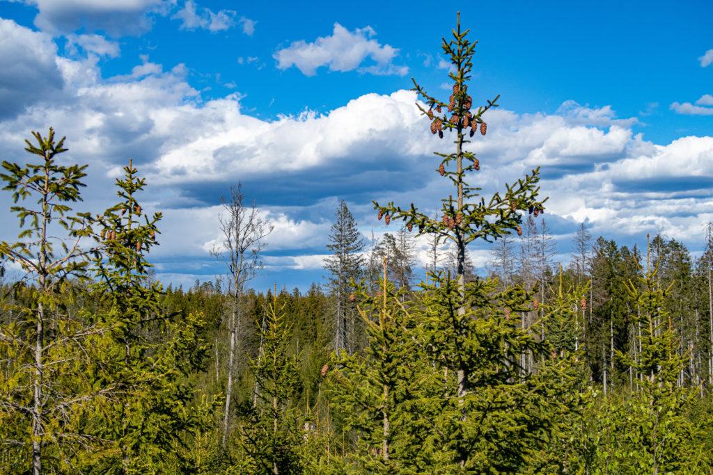 Utsikt över skogen från Glindraåsen