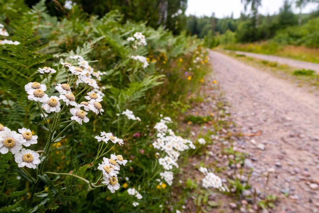 Vita blommot längs grusväg som följer Bergslagsleden