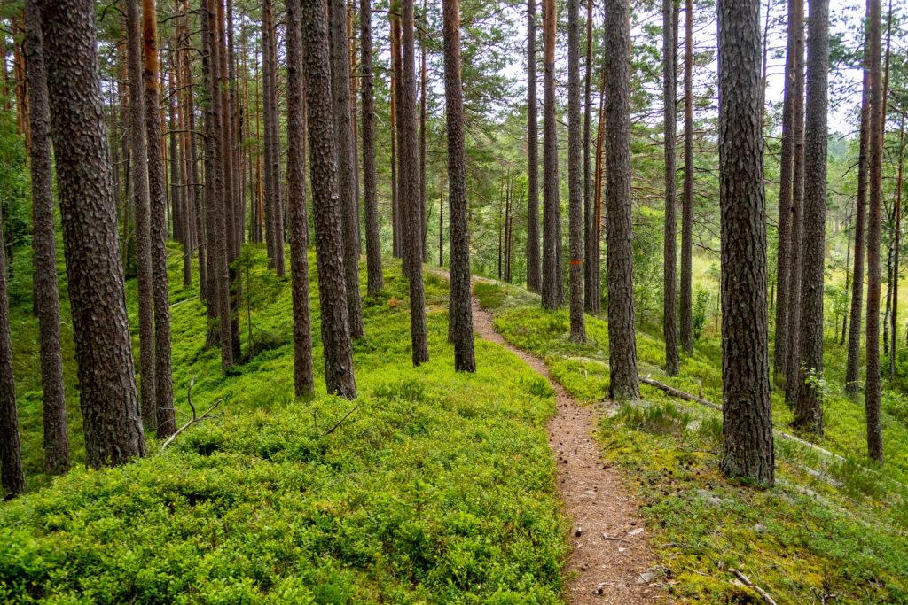 Bergslagsleden slingrar sig i skogen mellan träden