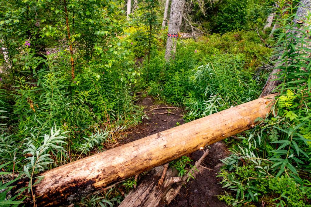 Trädfällen i Tivedens nationalpark