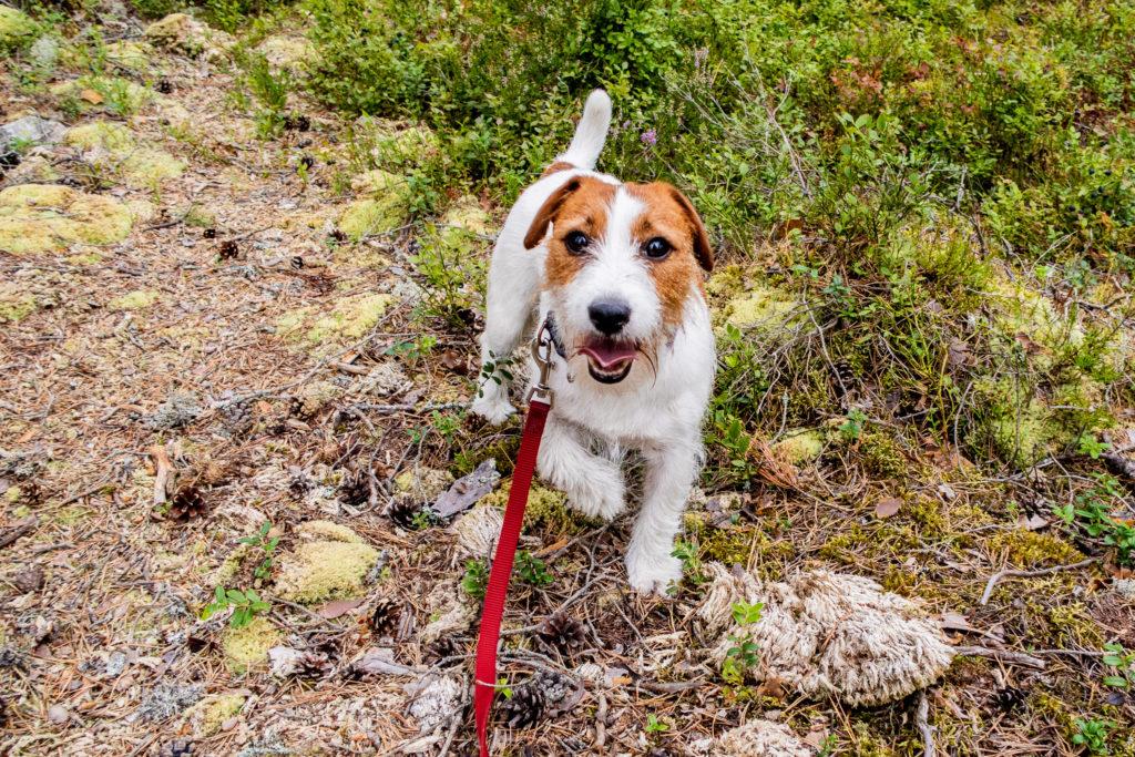 Jack Russell på vandring