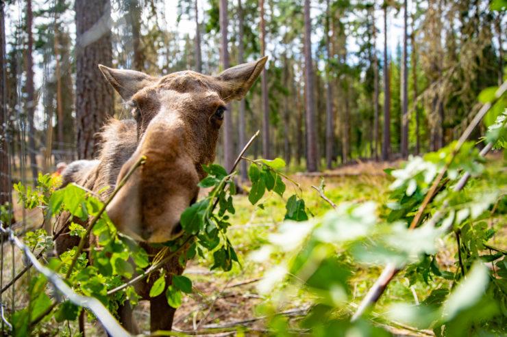 Älg äter löv från gren genom galler