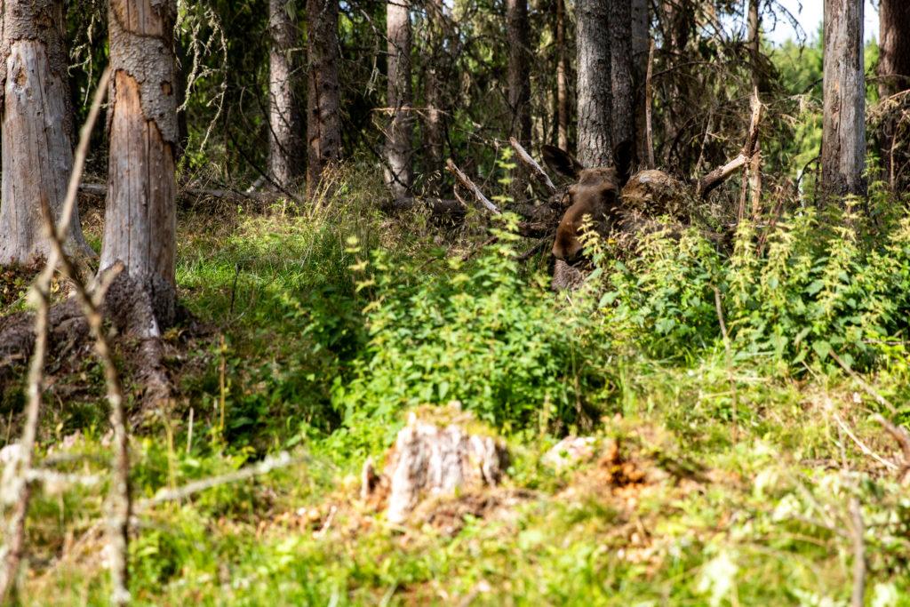 Älg ligger och vilar i skogen