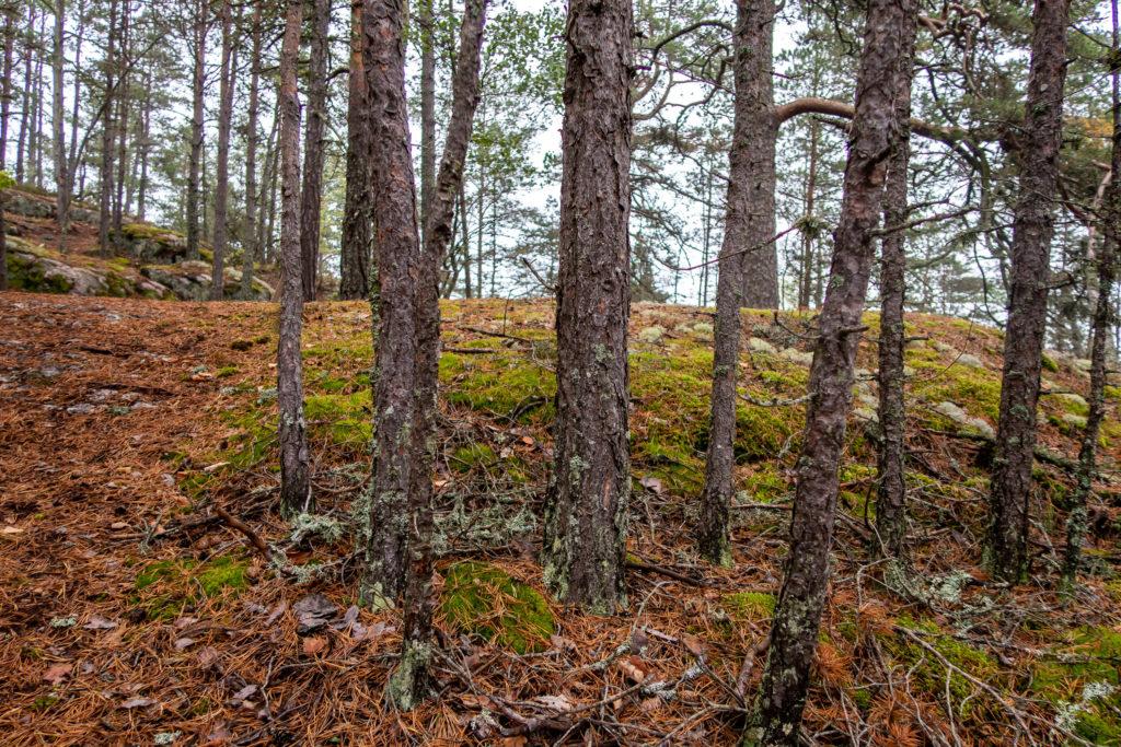 Taniga tallar i skogen