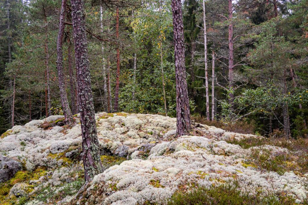 Vit lav i skogen i Jursla