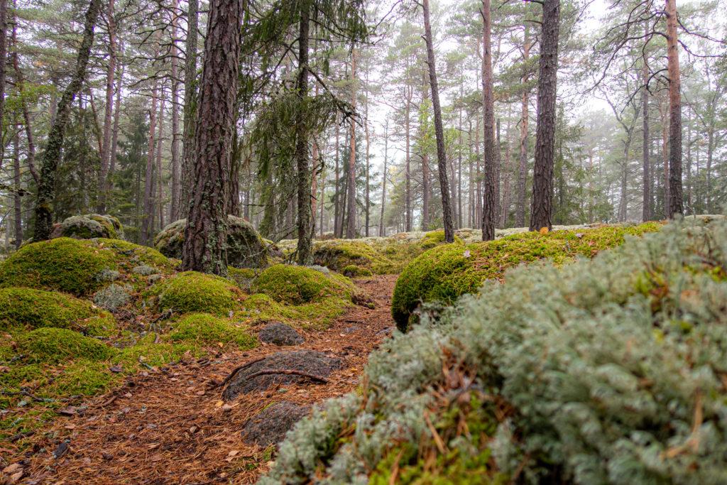 Disigt men lummigt i Jursla gammelskog