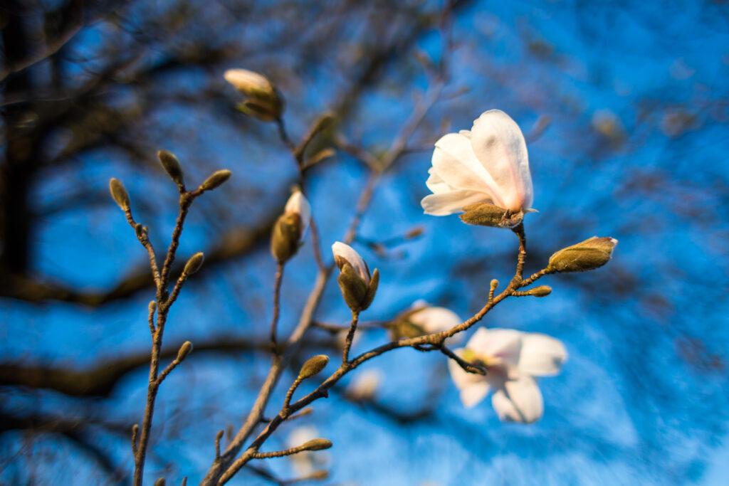 Magnolia slår ut