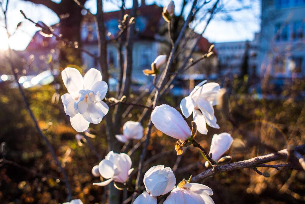 Vit magnolia 2018