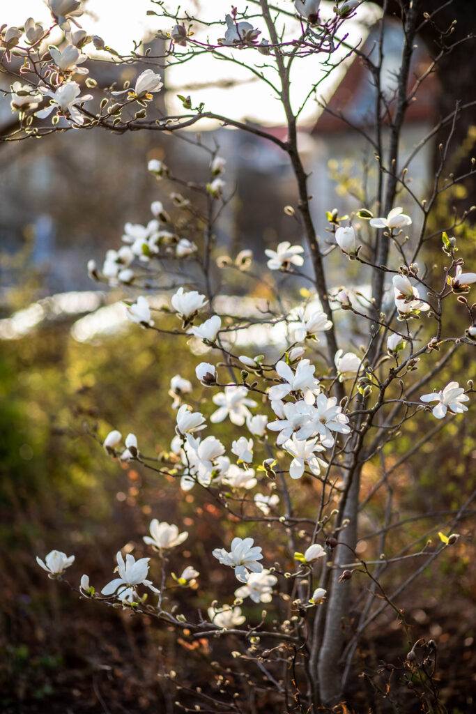 vit magnolia i Norrköping