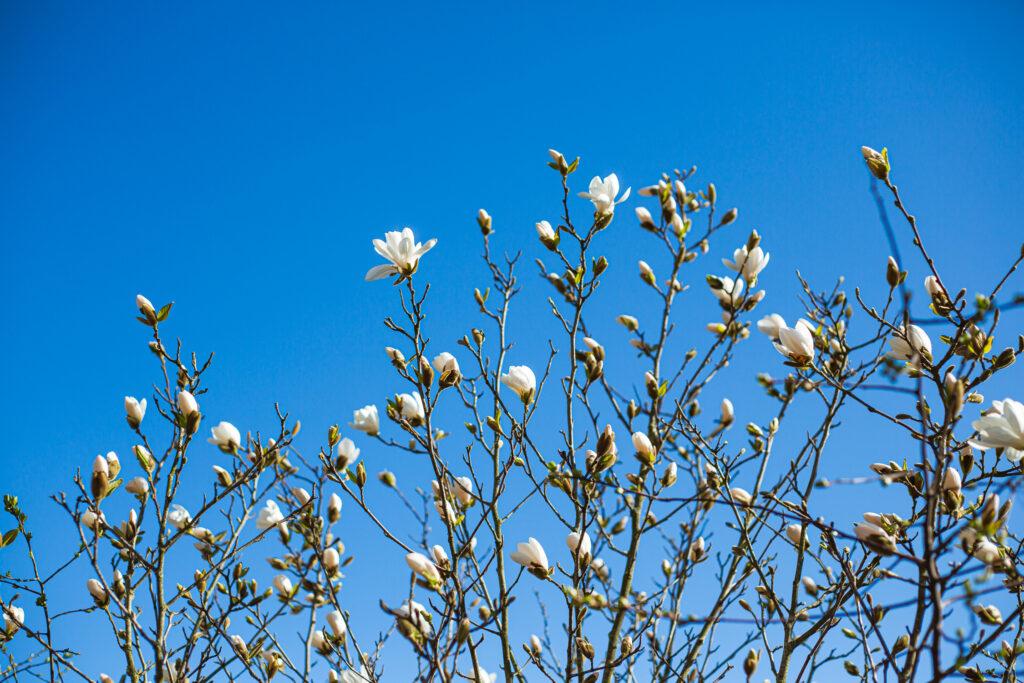 Magnolia blommar mot blå himmel