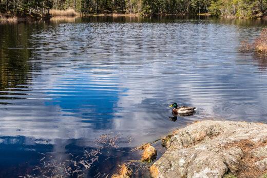 Andhane simmar på Lunnsjön
