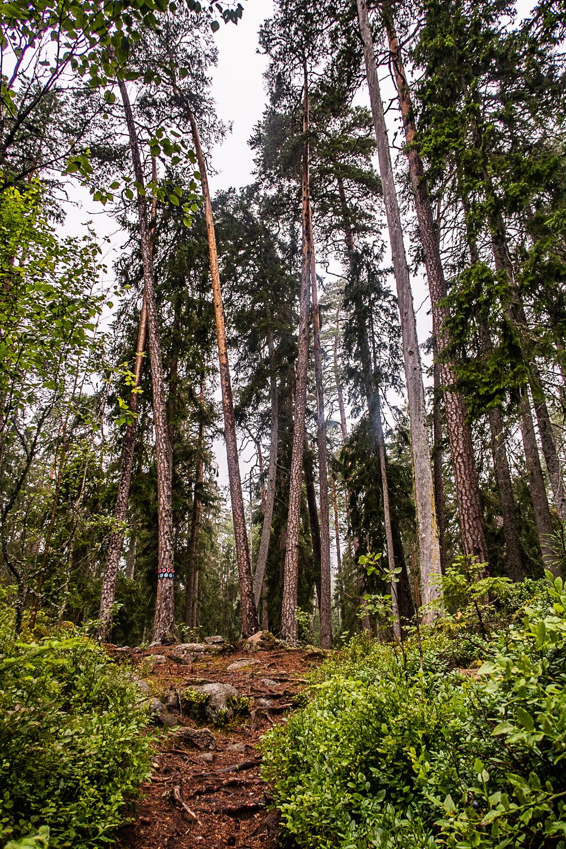 Tallar växer snett i Norra Kvills nationalpark