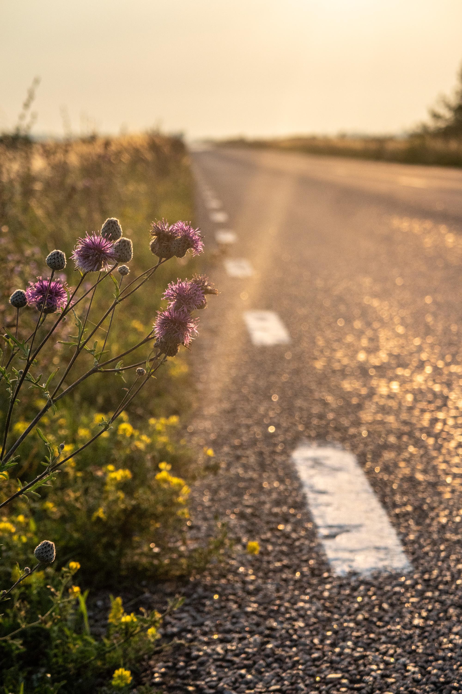 Blommor i vägkanten i solnedgång.