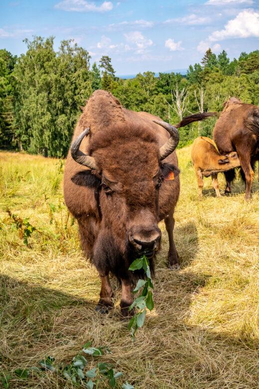 Bison äter i Gate