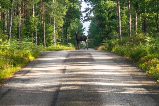 Älg på vägen till Åsnens nationalpark