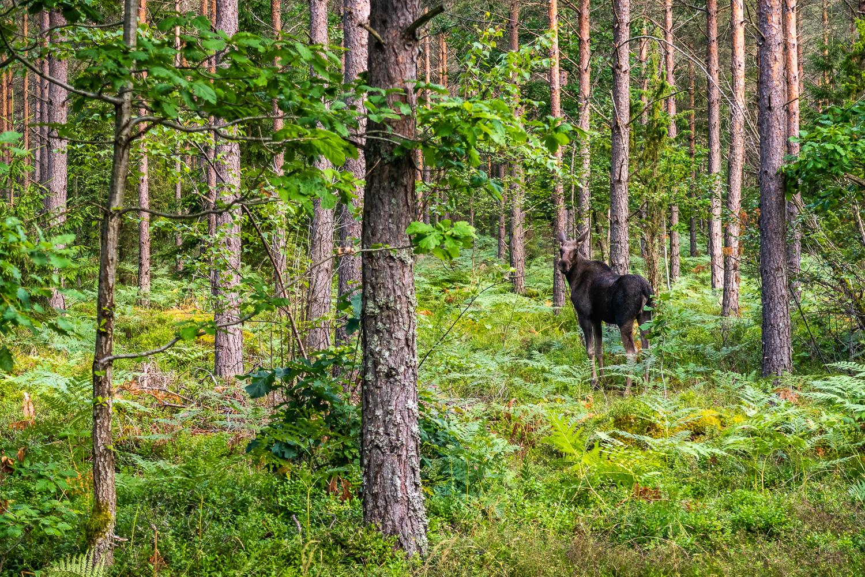 Älg i skogen