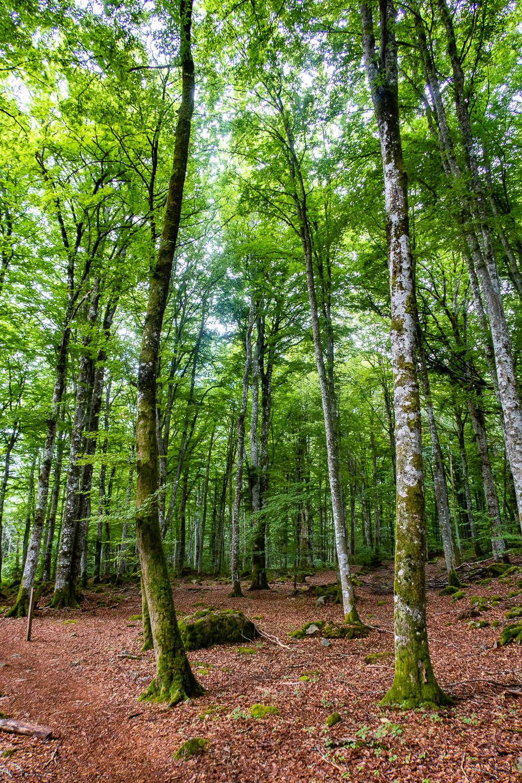 Luftig bokskog i Åsnens nationalpark