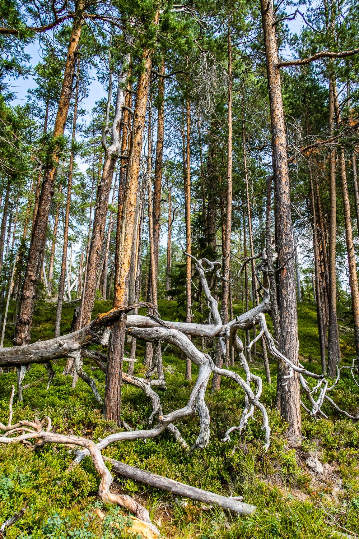 Döda och levande träd i gammal skog