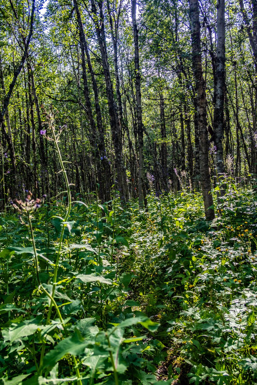 Tät fjällskog