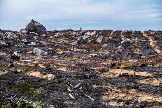 Inga träd kvar efter den stora skogsbranden i Kårböle